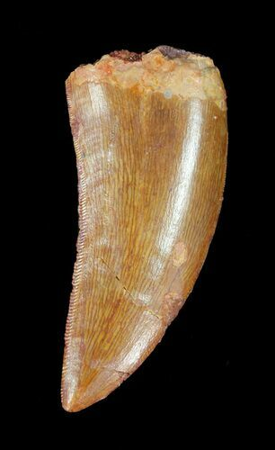 "Serrated, 1.82"" Carcharodontosaurus Tooth"