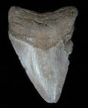 "Bargain, 2.33"" Juvenile Megalodon Tooth  For Sale, #61721"