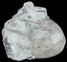 Eucalyptocrinus crassus  - Fossils For Sale - #61917