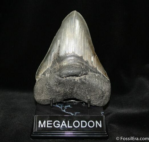 Giant 5.35 Inch Megalodon Tooth With Stand