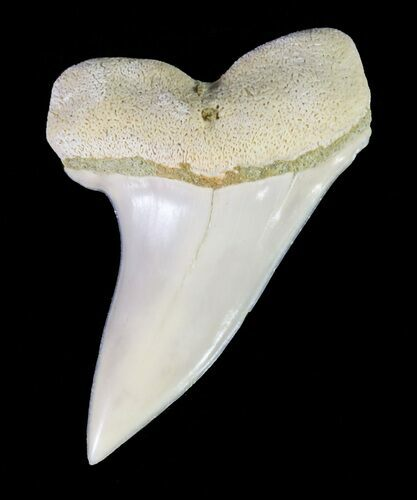 "1.25"" Mako Shark Tooth Fossil - Sharktooth Hill, CA"