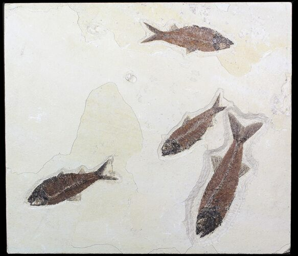 Mioplosus & Knightia Fossil Fish Association - Wyoming