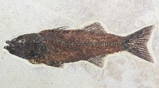 "Gorgeous, 9.1"" Mioplosus Fossil Fish - Wyoming For Sale, #62666"