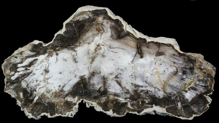 "10.1"" Petrified Wood (Beech) Slab - Deschutes River, Oregon"