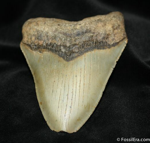 4.58 Megalodon Tooth From SC