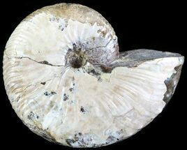 "2.1"" Hoploscaphites Ammonite - South Dakota For Sale, #62594"