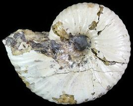 "Buy 1.64"" Rhaeboceras Ammonite - Montana - #62611"