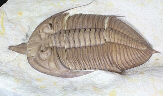"Buy 4.68"" Huntonia Trilobite Oklahoma - Extremely Large - #62896"