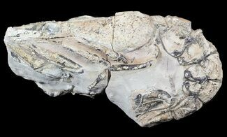 "Buy 4.3"" Fossil Lobster (Meyeria) - Cretaceous, Isle of Wight - #62908"