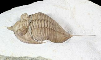 "Buy 2.7"" Huntonia Lingulifer (Rare Species) - Oklahoma - #62926"