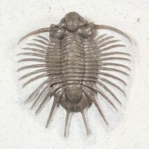 "Buy 1.05"" Unidentified Lichid Trilobite From Jorf - Belenopyge Like - #62935"