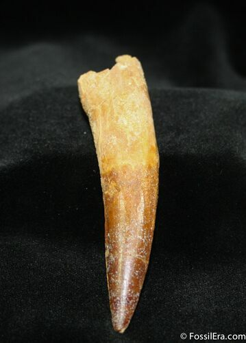 Awesome 3 3/4 Inch Rooted Spinosaurus Tooth