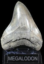 "Buy Serrated, 5.32"" Megalodon Tooth - Glossy Enamel - #63142"