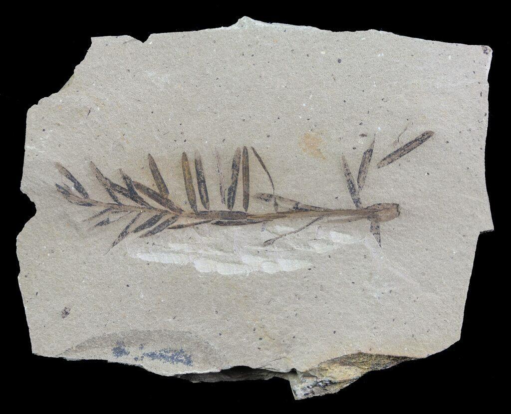 Metasequoia  Dawn Redwood  Fossil