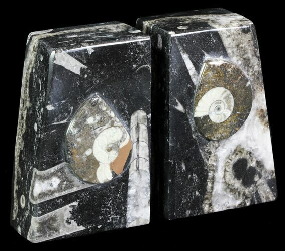 "4.7"" Polished Orthoceras and Goniatite Bookends - Morocco"