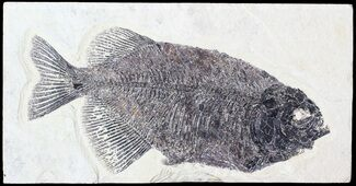 "Buy Bargain, 10"" Phareodus Fossil Fish - Scarce Species - #63358"