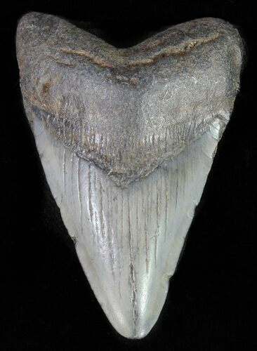 "2.42"" Juvenile Megalodon Tooth"