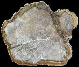 "5"" Petrified Wood (Dicot) Round - Texas For Sale, #63473"