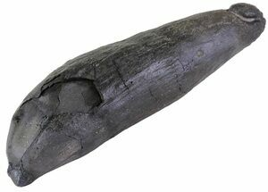 "Buy 5.7"" Fossil Sperm Whale Tooth - South Carolina - #63553"