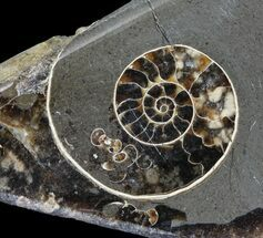 "2"" Polished Ammonite Fossil Slab - ""Marston Magna Marble"" For Sale, #63818"