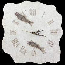"14.5"" Tall Clock With Two Knightia Fish Fossils - Wyoming For Sale, #64193"
