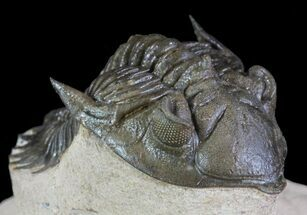 "1.8"" Metacanthina Trilobite - Lghaft, Morocco For Sale, #64415"
