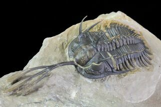 "2.95"" Walliserops Trilobite - Exceptional Shell Quality For Sale, #64916"
