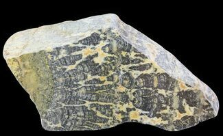 Asperia ashburtonia - Fossils For Sale - #65040