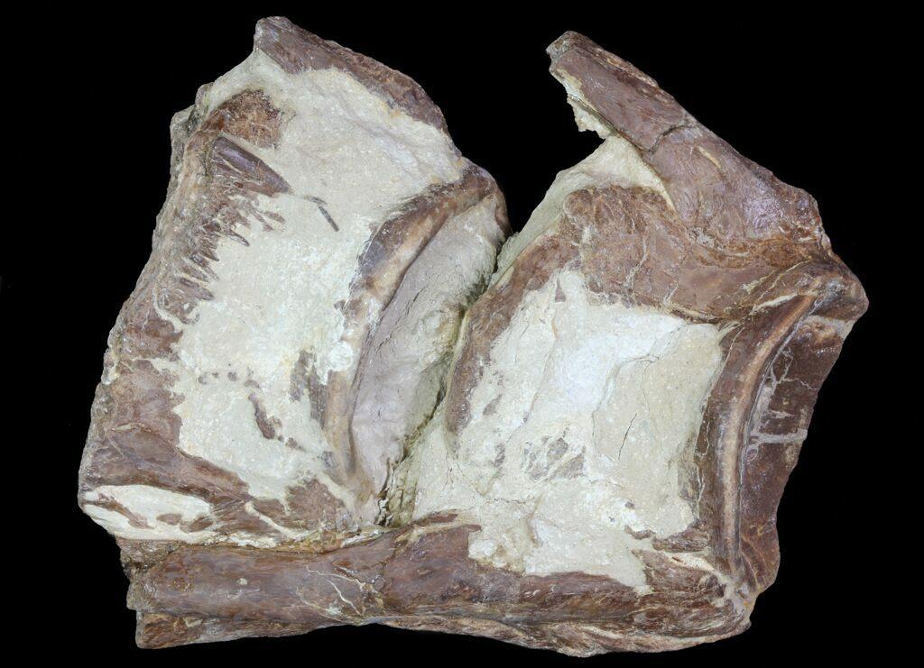 "3.6"" Two Associated Xiphactinus Vertebra - Kansas For Sale ..."