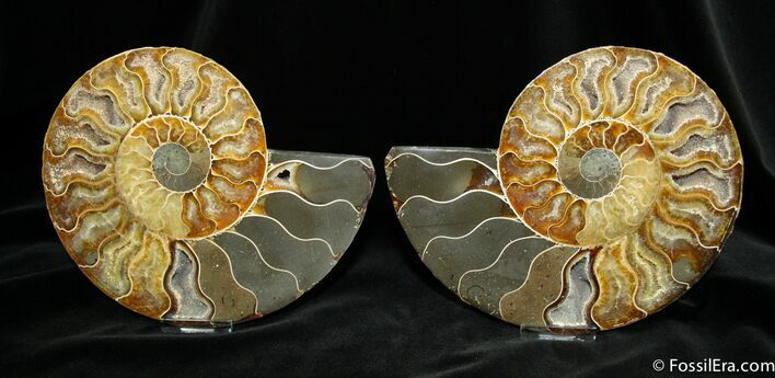Large 6.9 Inch Split Ammonite Pair From Madagascar