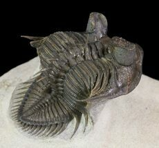 "2"" Top Quality Tower Eyed Erbenochile Trilobite For Sale, #65819"