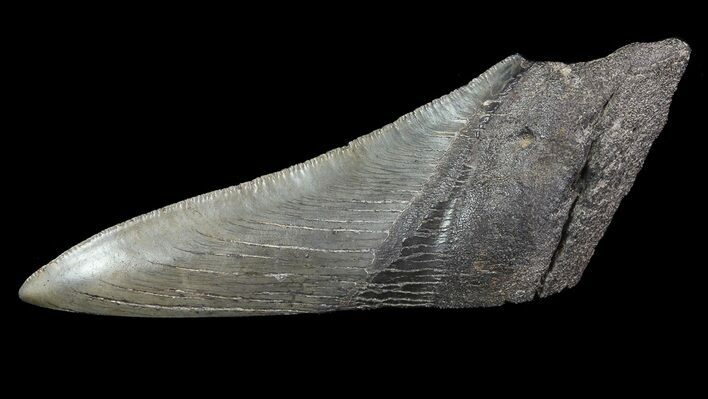 "5.05"" Fossil Megalodon Tooth ""Paper Weight"""
