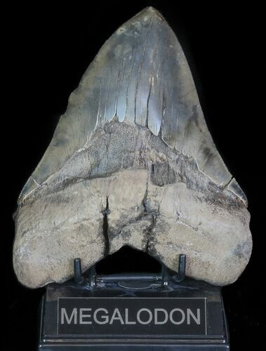 "Serrated, 6.24"" Fossil Megalodon Tooth - 50+ Foot Shark!"