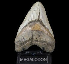 "Huge, 6.03"" Megalodon Tooth - North Carolina For Sale, #66098"