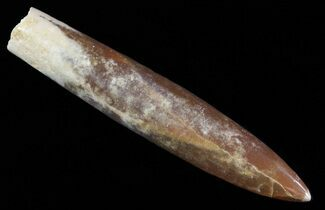 "Buy 3.6"" Agatized Belemnite Fossil - Sweden - #66268"