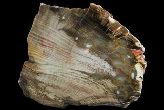 "Buy 4.3"" Slab of Fossilized ""Peanut Wood"" - Australia - #65626"