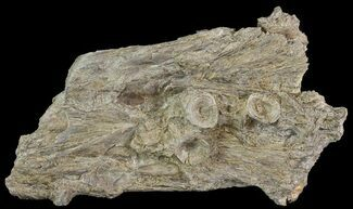 "7.3"" Cimolichthys (Cretaceous Fish) Skull Section - Kansas For Sale, #66884"