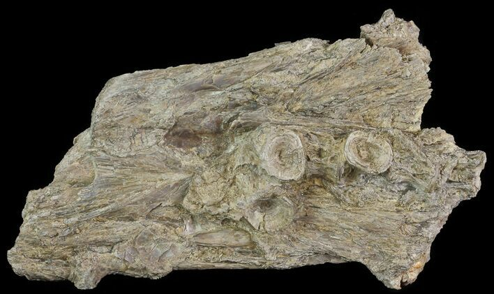 "7.3"" Cimolichthys (Cretaceous Fish) Skull Section - Kansas"