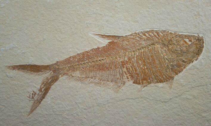 "5.5"" Diplomystus Fossil Fish - Wyoming"