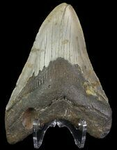 "Buy 4.25"" Megalodon Tooth - North Carolina - #67111"
