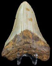 "Bargain, 4.4"" Megalodon Tooth - North Carolina For Sale, #67112"