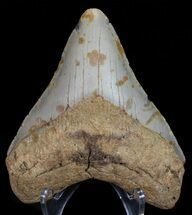 "4.27"" Megalodon Tooth - North Carolina For Sale, #67145"