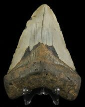 "Buy Bargain, 4.61"" Megalodon Tooth - North Carolina - #67282"