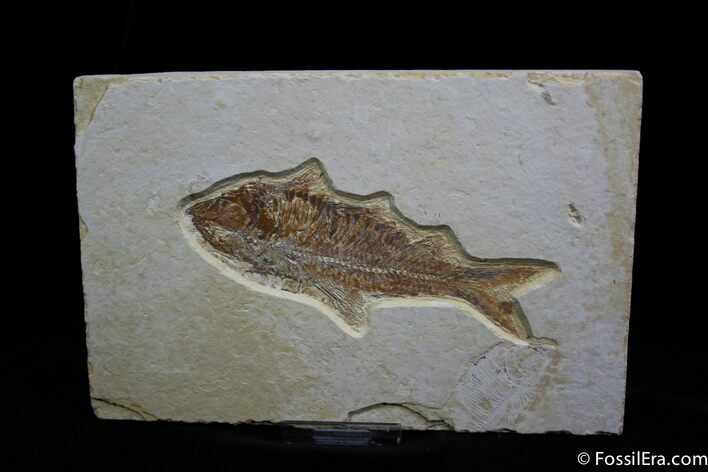 4.4 Inch Knightia Fossil Fish - Great Preservation