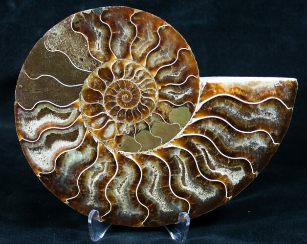 "Beautiful 5"" Split Ammonite (Half)"