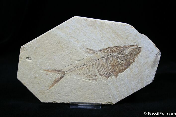 Fossil Fish Diplomystus dentatus 4.7 Inches