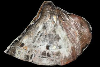 "8.2"" Polished Petrified Wood (Oak) Slab - Oregon For Sale, #68030"