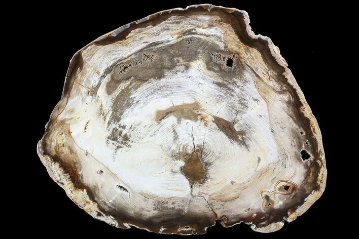 "10.7"" Petrified Wood (Hickory) Slab - Deschutes River, Oregon"