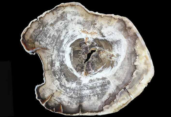 "8.9"" Petrified Wood (Hickory) Slab - Deschutes River, Oregon"