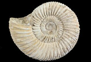 "3.1"" Perisphinctes Ammonite - Jurassic For Sale, #68186"